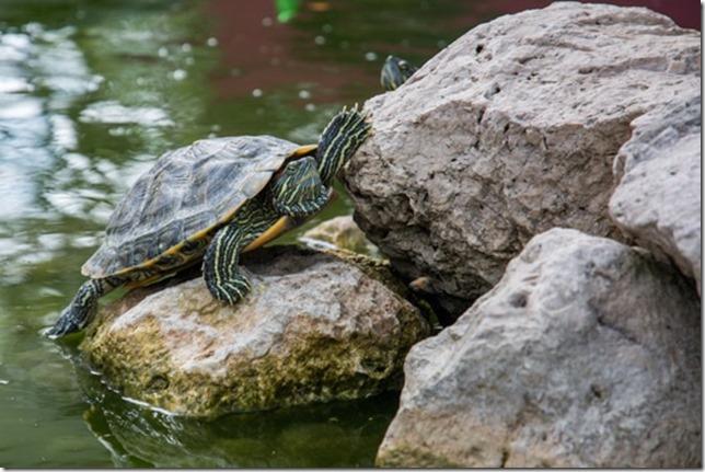 water-animal-stones-turtle-medium