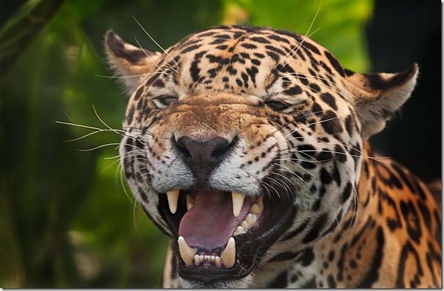 jaguar-2801377_960_720